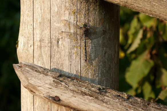 Dragonfly Photo Heather Ross