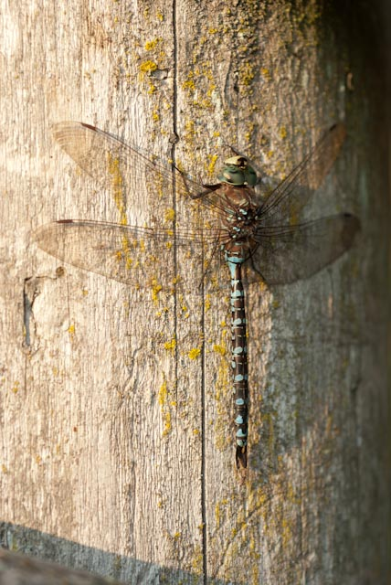 dragonfly by Heather Ross
