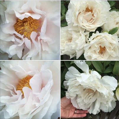 Peony grid by Heather Ross