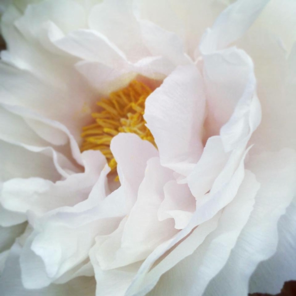 peony profile Heather Ross