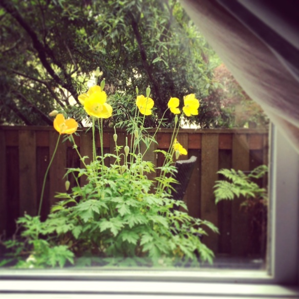 poppies thru my window